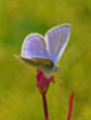 common blue on greater willowherb -print
