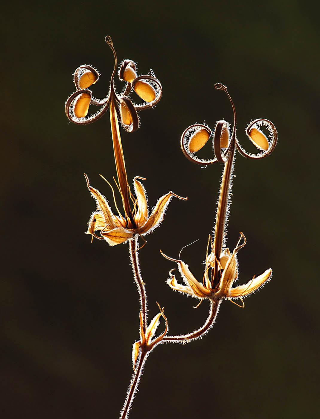 Geranium Seedhead, Joyce Scott
