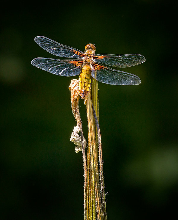 broad bodied chaser small size.jpg