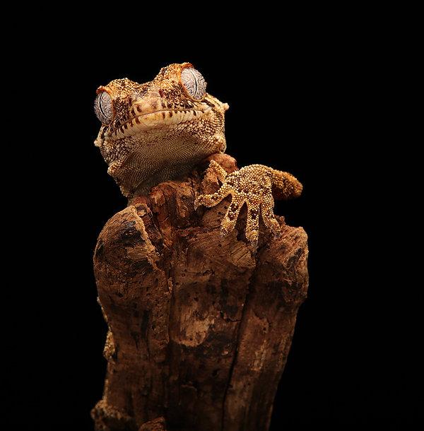 Gargoyle Gecko - member 3.jpg