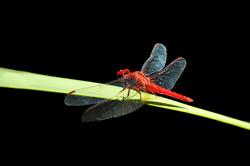 Little Scarlet Dragonfly