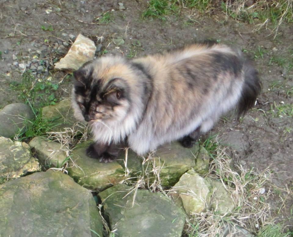 femmine gatti norvegesi