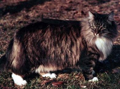 primi gatti norvegesi