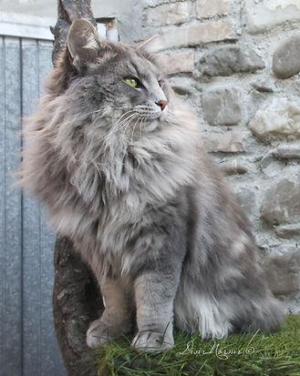 gatto norvegese maschio blu