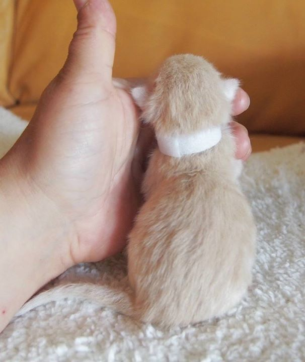 Male (W)cream tabby mackerel + white- 1 day old