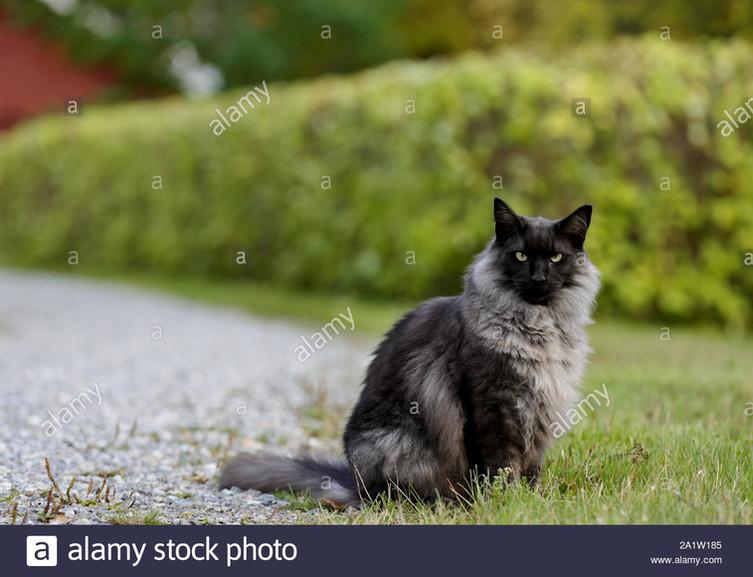 a-black-smoke-norwegian-forest-cat-male-