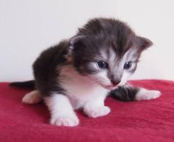 2+1 week old- Candace Bushnell- female black smoke + white