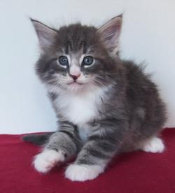 Celestial Quartz- male -6 weeks old