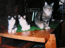 Pan's Tonett the ancestor of many NF cats.JPG