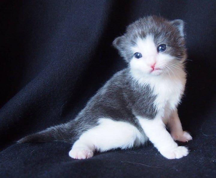 2+1 week old- Corbett Aiden- male blue + white