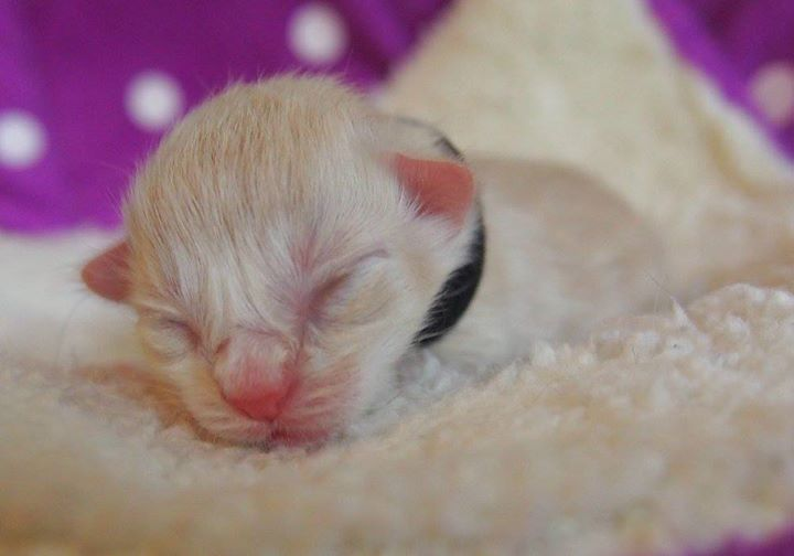 Male (B)cream tabby mackerel + white- 1 day old