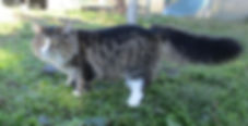 gatto norvgese delle foreste brown tabby mackerel