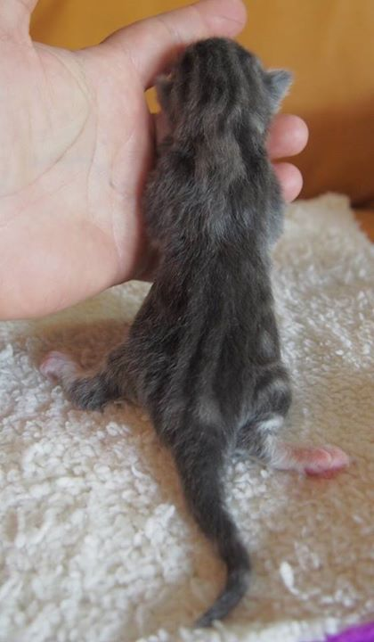 Male (lW) blu tabby blotched + white-1 day old