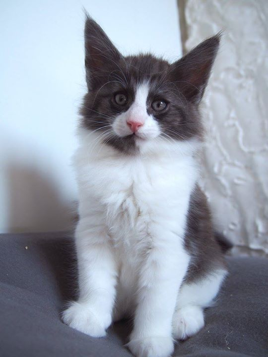 Cosmopolitan SATC, male, 7+3 weeks old