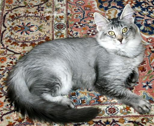 Bertine x Bertil kittens Winnetou 12.jpg