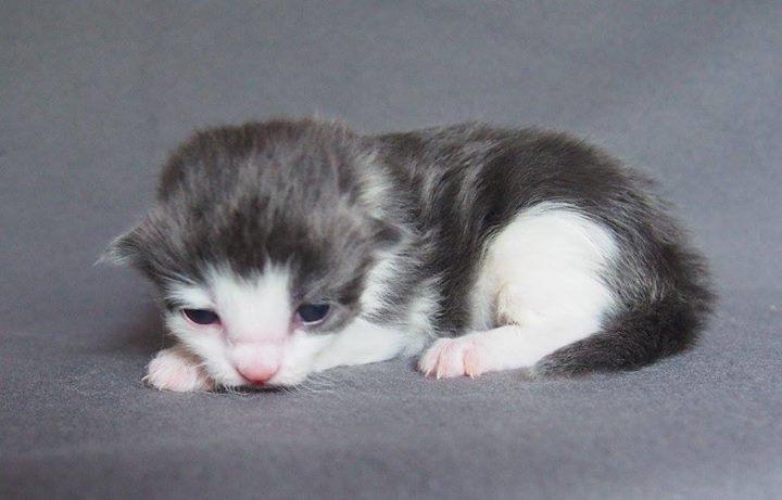 1+1 week old - Corbett Aiden -  male blu ( smoke_) + white birth weight g 140