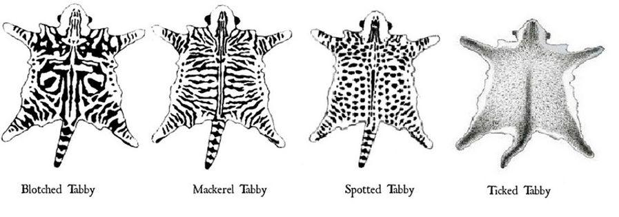 tipo tigrature gatti