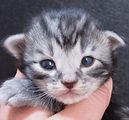 vendita cuccioli gatti norvegesi