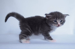Celestial Quartz - Male -4 weeks old