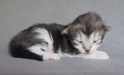 1+1 week old- Candace Bushnel-l female black smoke + white- birth weight g 125