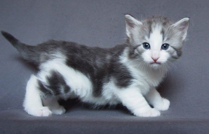 Carrie Bradshaw -4 weeks old- Female-  Blue blotched ( silver_) + White