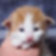 cucciolo noregese rosso
