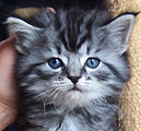 vendita gatti norvegesi