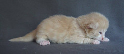 2 Weeks old -Corallo - Male Cream Spotted_ + white