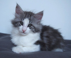 Carrie - Female- 7,3 weeks old