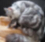 gatto norvegese delle foreste smoke