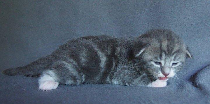 2 Weeks old -Cristallo di Rocca - Male Blue Blotched  + white