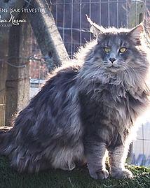 gatto norvegese delle foreste maschio