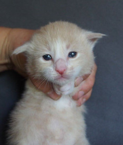 2 Weeks old -Copale - Male Cream  + white