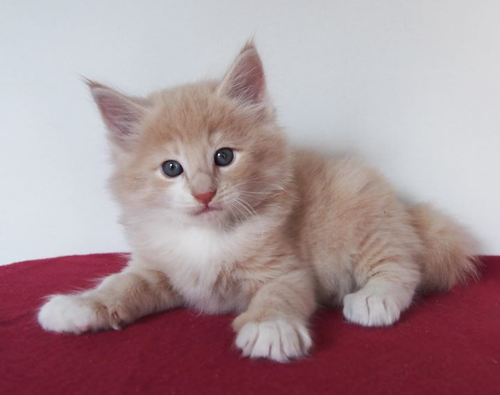 Corallo - male -6 weeks old