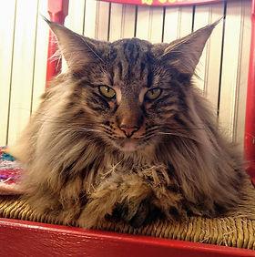 norvegese gatto anallergico