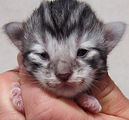 gattino norvegese delle foreste nero