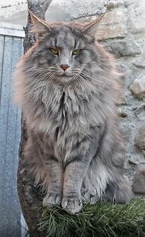 gatto norvegese grigio