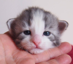 2+1 week old- Carrie Bradshaw- female Blue silver  + white