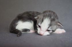 1+1 week old - Carrie Bradshaw - female black silver + white birth weight g 140