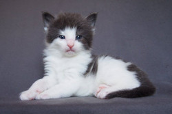 Corbett Aiden -4 weeks old- Male-  Blue + White