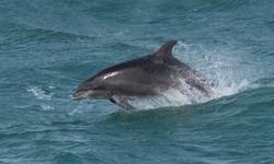 Bottlenose Dolphin - Image by Peter Howlett