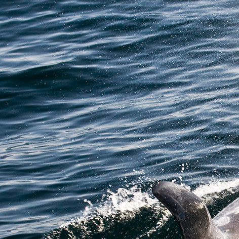 Risso's Dolphin (in 2.6 minutes)