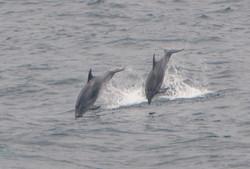 Bottlenose Dolphins - Image by Peter Howlett