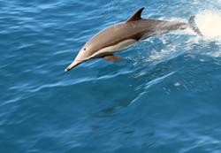 Common Dolphin - Image credit: Rob Petley-Jones