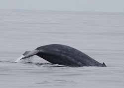 Blue Whale - image by Adrian Shephard for MARINElife