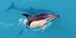 Common Dolphin - Image credit: Rick Morris