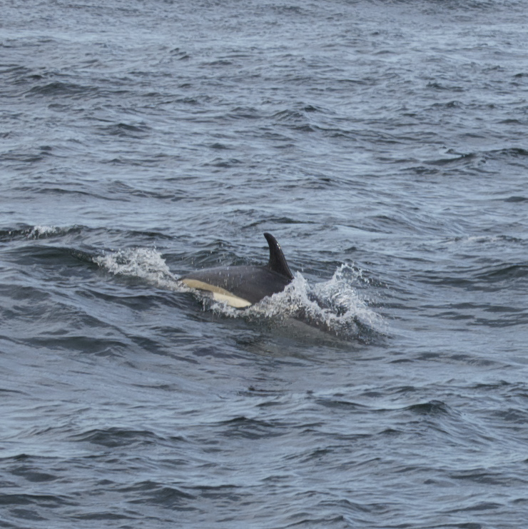Atlantic white-sided dolphin swimming.jp