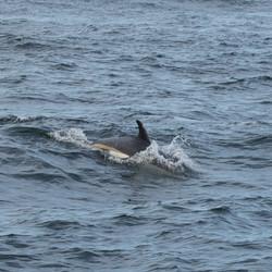 Atlantic white-sided dolphin swimming.jp