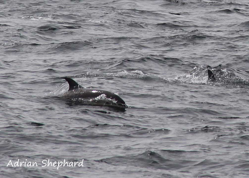 Atlantic White Sided Dolphin - Adrian Shephard