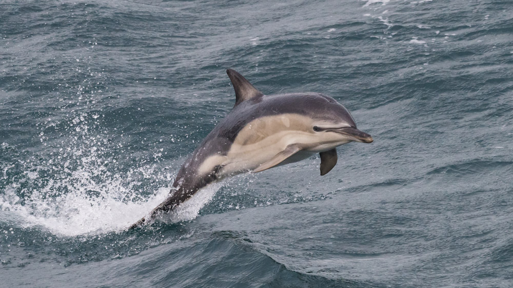 Common Dolphin - Image credit: Peter Howlett